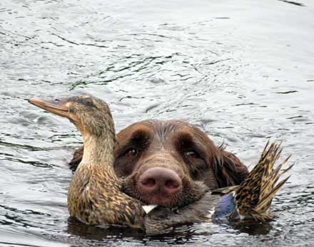chumlee-duck-retrieve